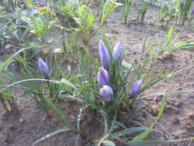 i fiori di zafferano nel campo